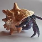 Krab w muszli duży fioletowy (2)